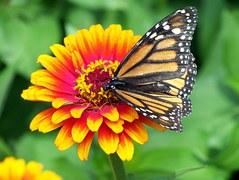 monarch-18140__180