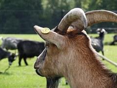 goat-433503__180